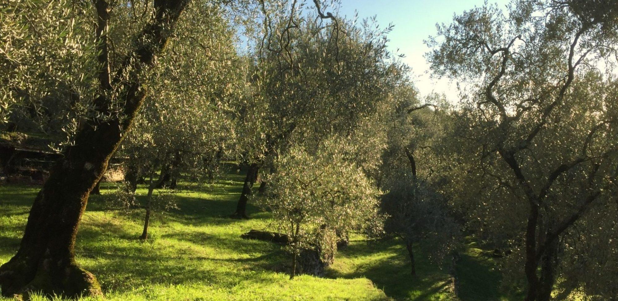 Olivenöl aus eigenem Anbau!  Alles Ausverkauft. Dezember 2020 kommt das nächste Olivenöl.