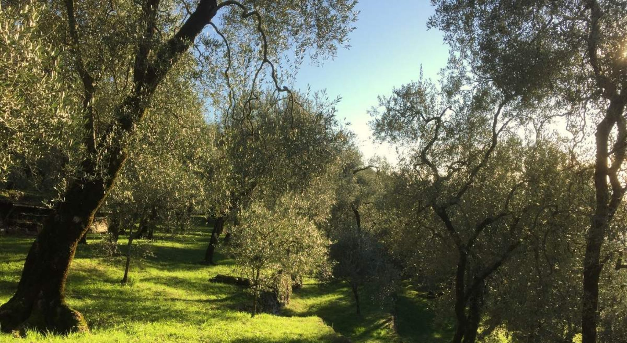 Olivenöl aus eigenem Anbau!