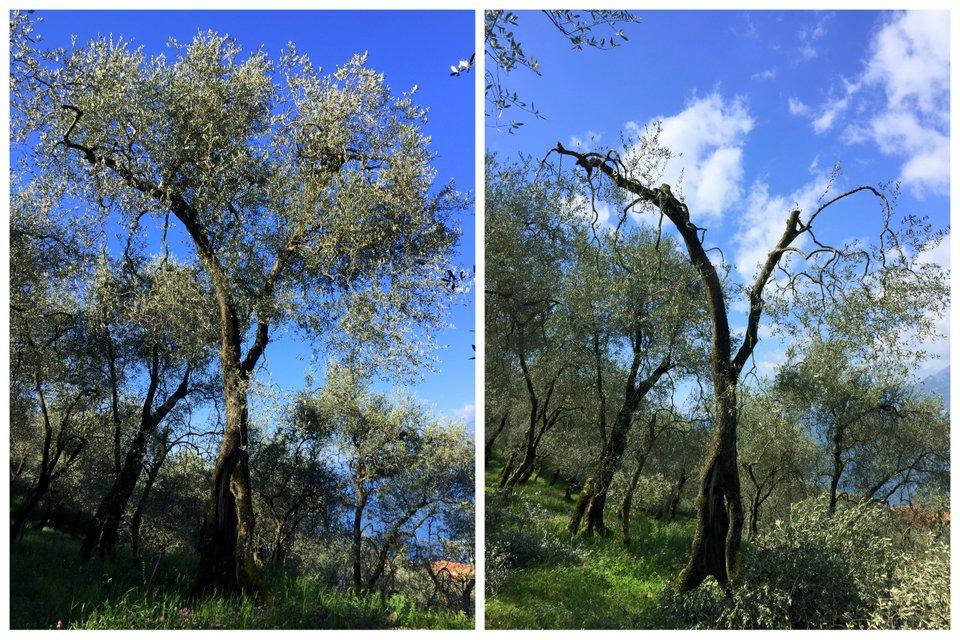 Baumschnitt vorher - nachher