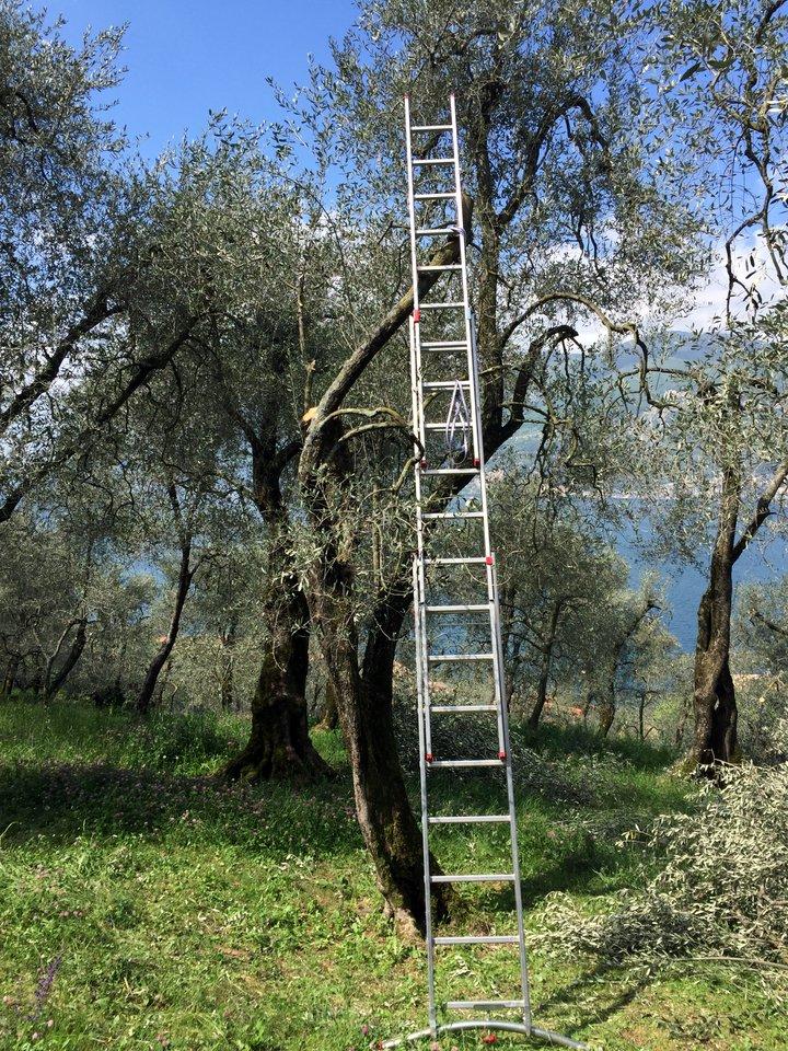 H-Leiter am Olivenbaum
