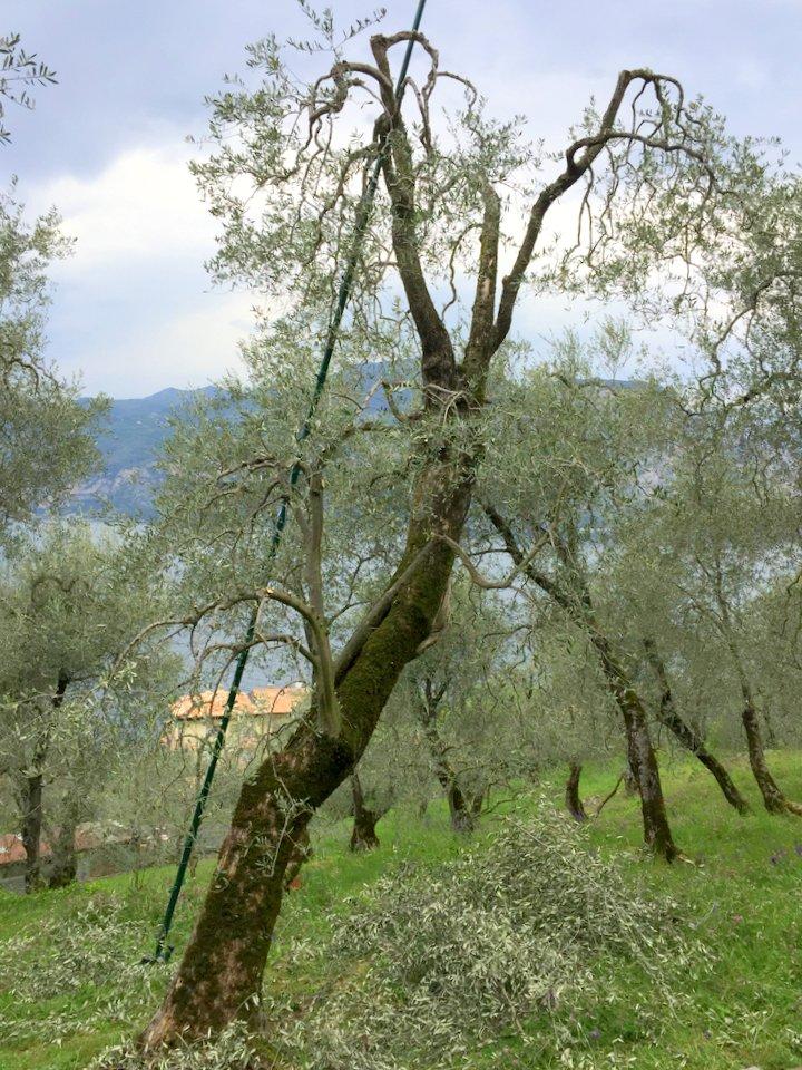 Unser hoher Baum