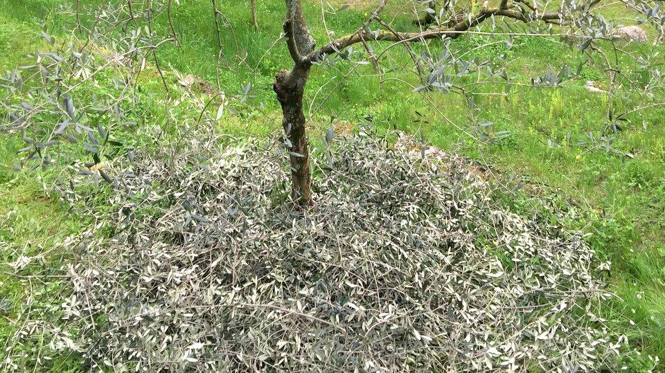 Blätter vom Baumschnitt