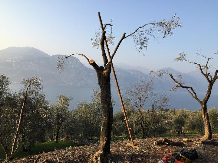 Olivenbaumschnitt