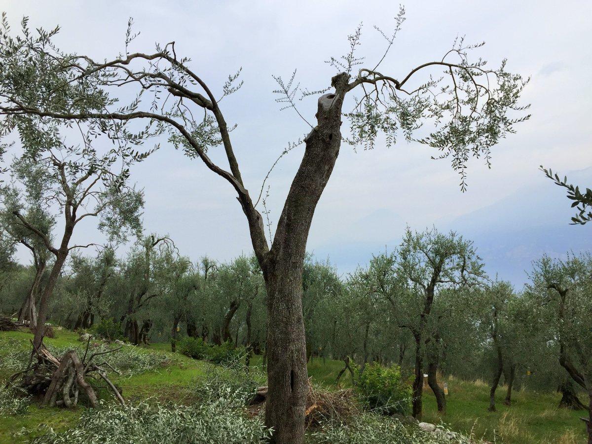 Die gestutzten Olivenbäume