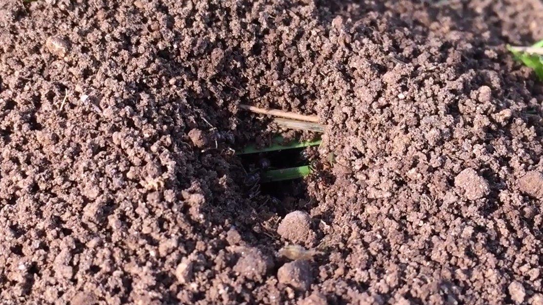 Ameisen graben sich ein